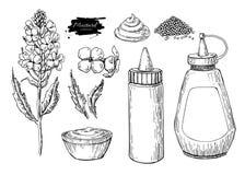 Комплект соуса Mustardi предпосылка рисуя флористический вектор травы Еда нарисованная рукой ingridient Ботанические ветвь цветка Стоковое Изображение