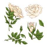 Комплект цветка, бутона и листьев белой розы Изолированный на белой иллюстрации вектора Стоковая Фотография