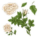 Комплект цветка, бутона и листьев белой розы Изолированный на белой иллюстрации вектора Стоковое Изображение