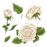 Комплект цветка, бутона и листьев белой розы Изолированный на белой иллюстрации вектора Стоковые Изображения RF