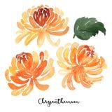 Комплект цветков хризантемы акварели эскиза Стоковое Изображение