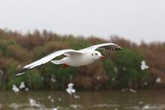 Комплект чайок летания, белые чайки летает над морем на Bangpu Стоковое Изображение