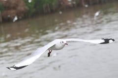 Комплект чайок летания, белые чайки летает над морем Стоковое Изображение RF
