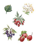 Комплект акварели вектора плодов шиповника и боярышника Стоковая Фотография RF