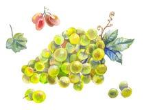 Комплект акварели виноградин Стоковое Фото