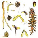 Комплект акварели хворостин, конусов сосны, семян и жолудей бесплатная иллюстрация