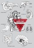 Комплект анатомии человеческого органа Стоковое Изображение
