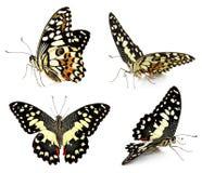 Комплект бабочки изолированный на белой предпосылке Стоковые Фотографии RF