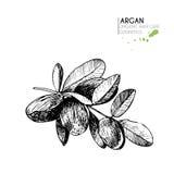 Комплект вектора ингридиентов ухода за волосами Органической элементы нарисованные рукой Ветвь гаек Argan Стоковые Фотографии RF
