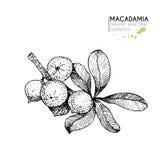Комплект вектора ингридиентов ухода за волосами Органической элементы нарисованные рукой Ветвь макадамии Стоковые Изображения