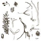Комплект вектора хворостин, конусов сосны, семян и жолудей бесплатная иллюстрация