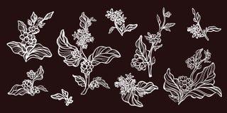 Комплект ветвей дерева кофе с кофейными зернами Ботанический чертеж контура вектор Стоковые Фотографии RF