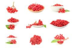 Комплект ветви красных ягод калины изолированных на белом вырезе предпосылки Стоковое фото RF