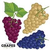 Комплект виноградины, вектор Стоковое Изображение