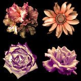 Комплект 4 в цветках 1 нежного мягкого цвета ретро: изолированные пеларгония, розы и декоративный солнцецвет Стоковые Фото