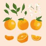 Комплект лета вектора при апельсины и цветки изолированные на предпосылке Стоковые Фотографии RF