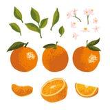 Комплект лета вектора при апельсины и цветки изолированные на предпосылке Стоковая Фотография