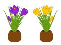 Комплект 3 желтого и фиолетового крокуса в коричневых баках изолированных на белой предпосылке Букет с крокусом также вектор иллю Стоковое Изображение RF