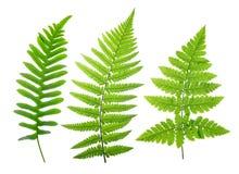 Комплект зеленых листьев папоротника Стоковая Фотография