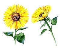 Комплект изолированных солнцецветов акварели Стоковые Изображения