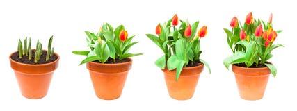 Комплект изолированных тюльпанов изображений в баке Стоковое Изображение