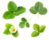 Комплект лист и цветка клубники ягоды Стоковая Фотография RF