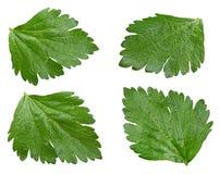 Комплект лист сельдерея Стоковое Изображение