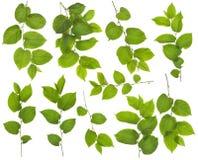 Комплект идеальных зеленых ветвей в июле Стоковое фото RF