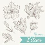 Комплект лилии цветков Иллюстрация штока