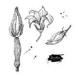 Комплект иллюстрации вектора цветка цукини нарисованный рукой veg бесплатная иллюстрация
