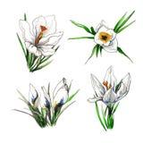 Комплект иллюстрации цветка крокуса Стоковое Изображение RF