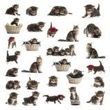 Комплект котенка енота Мейна Стоковые Изображения