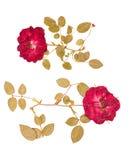 Комплект малых высушенных отжатых роз стоковые фото