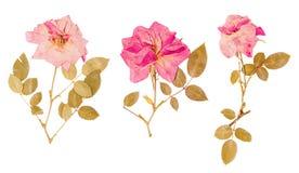 Комплект малых высушенных отжатых роз стоковая фотография rf
