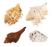 Комплект множественных изолированных раковин моря Стоковое фото RF