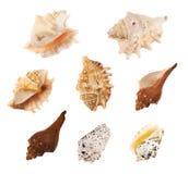 Комплект множественных изолированных раковин моря Стоковые Фото