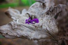 Комплект обручального кольца на gnarled пне дерева с фиолетовыми цветками Стоковые Фотографии RF