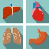 Комплект органов - легких, печени, сердца, живота Стоковое фото RF