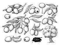 Комплект оливки Вручите вычерченную иллюстрацию вектора ветви с едой, деревом, падением масла Изолированный чертеж на белой предп Стоковые Изображения RF