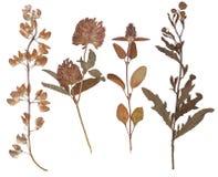 Комплект одичалого сушит отжатые цветки и листья Стоковые Изображения RF