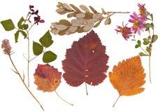 Комплект одичалого сушит отжатые цветки и листья Стоковые Изображения