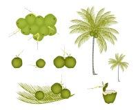 Комплект пальмы с зелеными кокосами иллюстрация штока