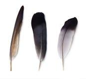 Комплект 3 пер голубя Стоковое Фото