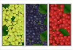 Комплект предпосылок разных видов виноградин Стоковая Фотография