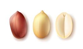 Комплект раскрытых арахисов иллюстрация штока