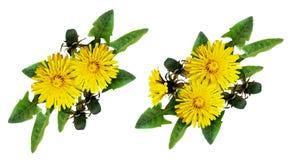 Комплект расположения цветков и бутонов одуванчика Стоковое фото RF