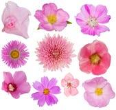 Комплект 10 розовых цветенй изолированных на белизне Стоковое Изображение