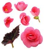 Комплект розовых цветков бегонии, бутонов и лист Стоковые Изображения