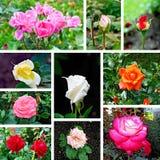 Комплект роз различный изображений Стоковое Изображение RF