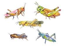 Комплект саранчи Саранча нарисованная рукой изолированная на белизне установленные насекомые Стоковое Фото